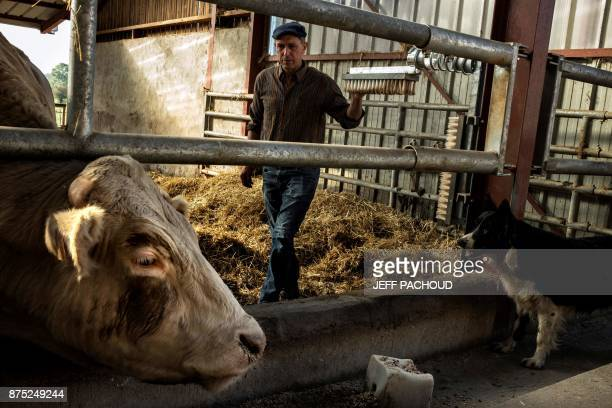 A cattle breeder stands next to a cattle of a new label called 'Boeuf de Beaune' fed with cereals and grape from Beaune vineyards on October 18 2017...