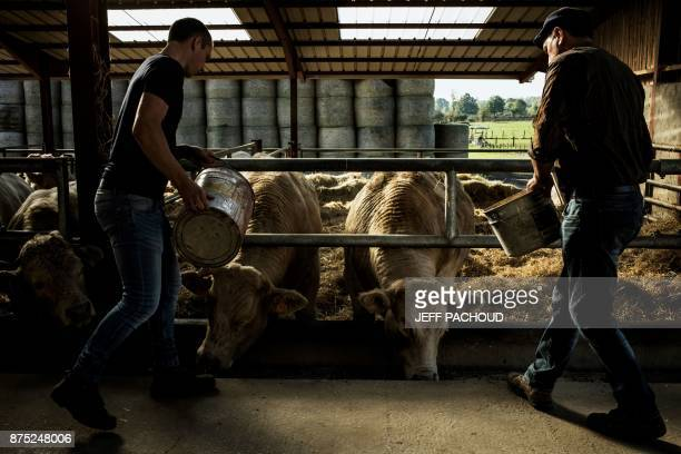 Cattle breeders feed cattle of a new label called 'Boeuf de Beaune' fed with cereals and grape from Beaune vineyards on October 18 2017 in...