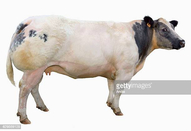 Cattle breeding. Portrait of a Belgian Blue heifer in profile. Photo that can be cut out.