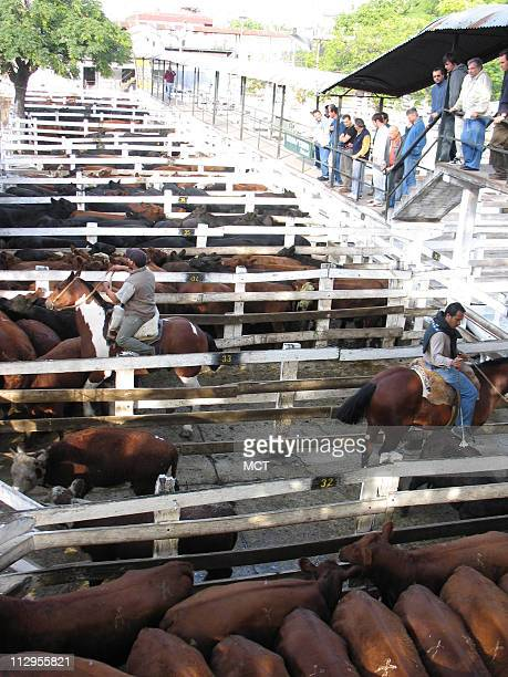 Cattle buyers look at the morning's stock March 16 at the Liniers Market in Buenos Aires Argentina Beef price and export controls have reduced by...
