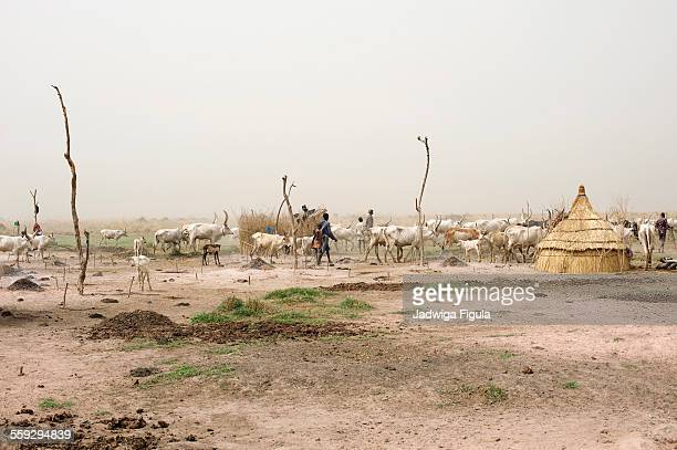 cattle camp in south sudan - south sudan stock pictures, royalty-free photos & images