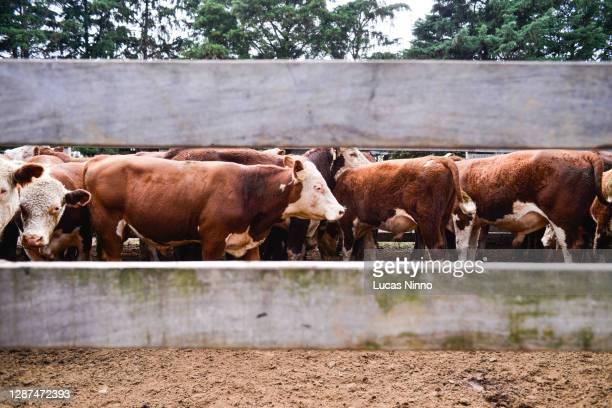 cattle confinement - 家畜柵 ストックフォトと画像
