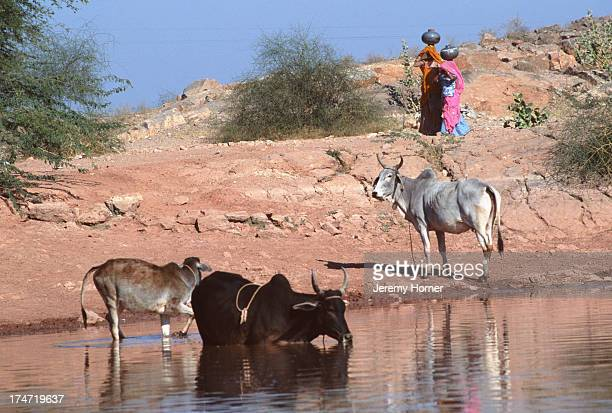 Cattle cooling in the oasis of Lourdia near Jodhpur Rajasthan