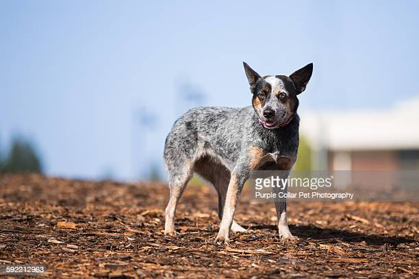 Australian Cattle Dog Stock Photos And Pictures Getty Images