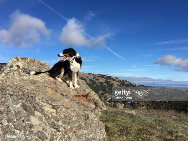 cattle dog up on rock mountain overlook - jason todd stock photos and pictures
