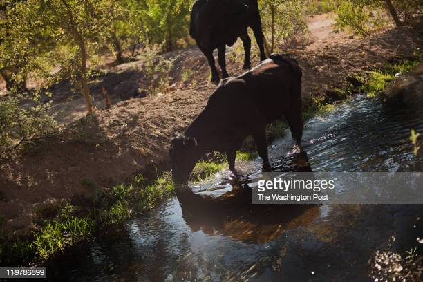 Cattle drink water from the irrigation canals that were build by the mormons in Colonia Juarez Mexico in July 2011 United States Presidential...