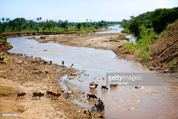 Cattle drinking at a river in the Lower Omo Valley, Ethiopia - December 15, 2017
