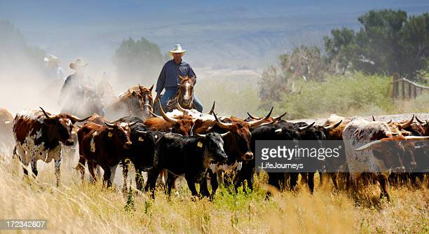 cattle drive - texas longhorn cattle stock photos and pictures