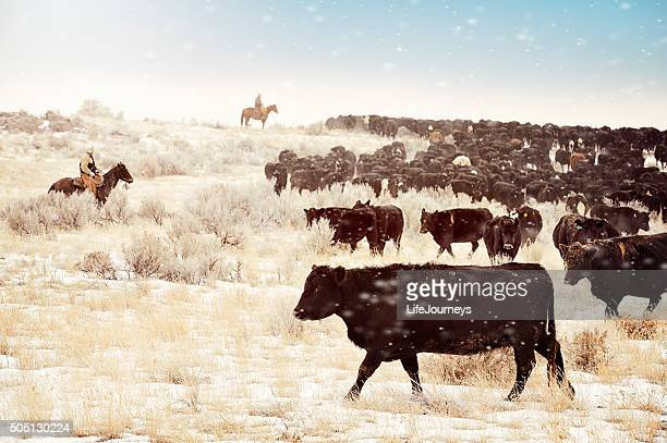 cattle drive - idaho stock pictures, royalty-free photos & images