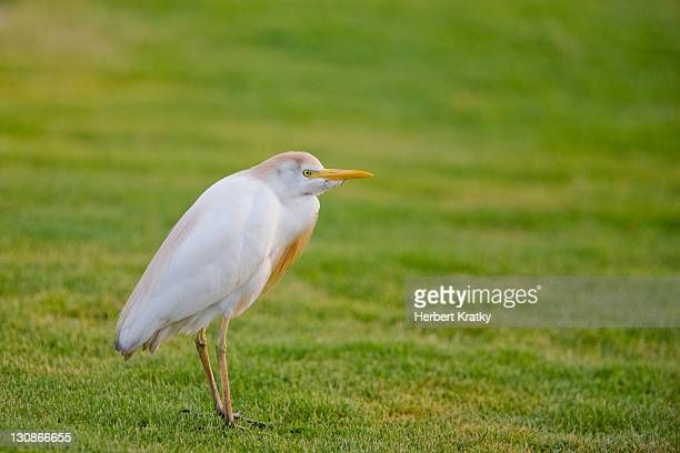 cattle egret (bubulcus ibis), berenice, egypt, africa - vista lateral stock pictures, royalty-free photos & images