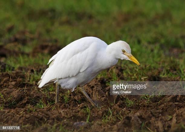 Cattle Egret [Bubulcus ibis]