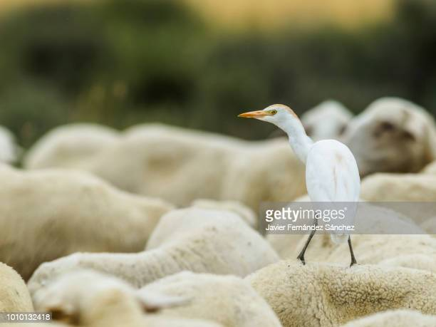 a cattle egret perched on the back of the sheep. bubulcus ibis. - insecteneter stockfoto's en -beelden