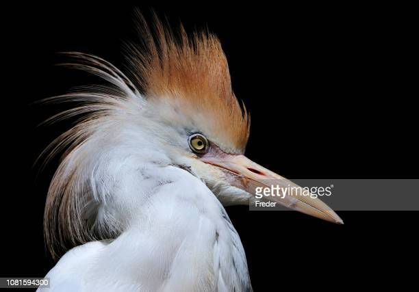 cattle egret - subtropical climate stock photos and pictures