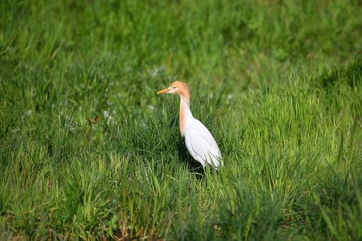 Cattle Egret - gettyimageskorea