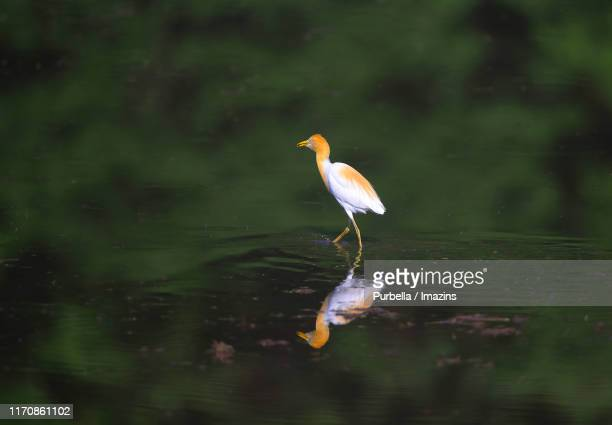 cattle egret - purbella stock photos and pictures