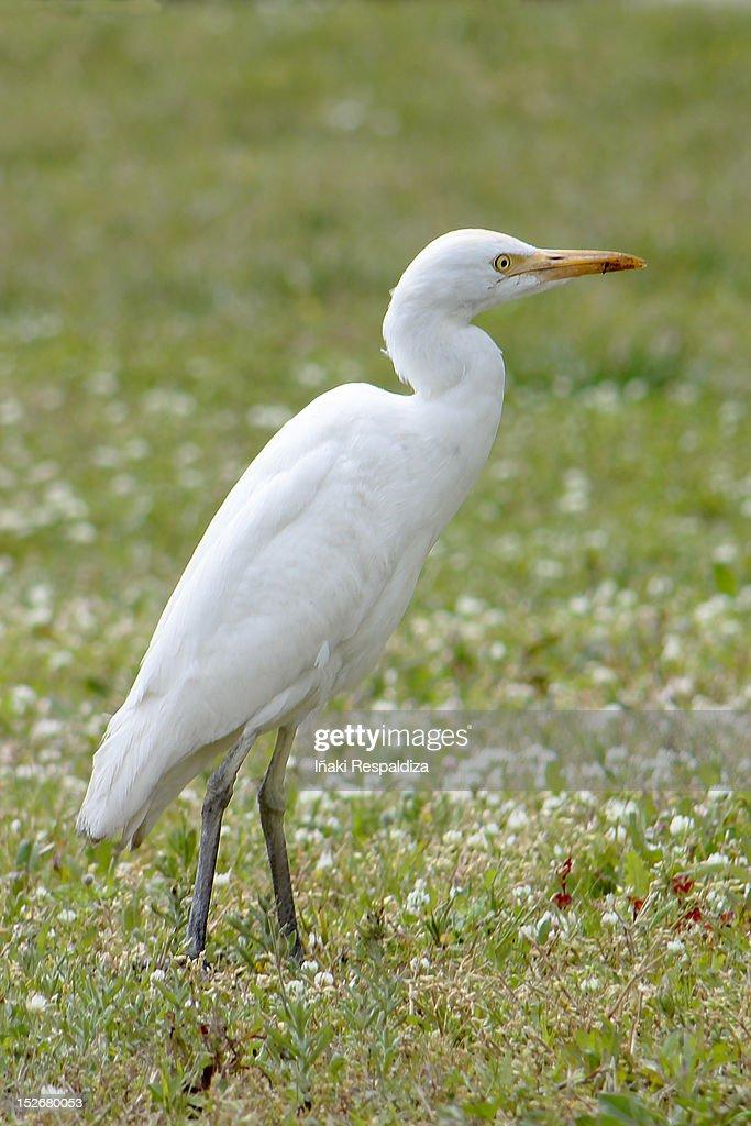 Cattle Egret : Foto de stock