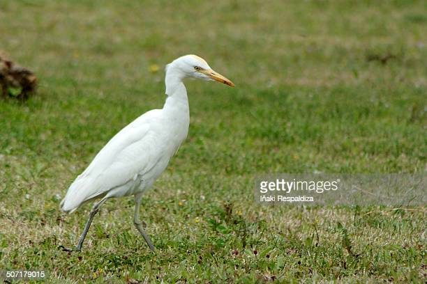 cattle egret - iñaki respaldiza stock pictures, royalty-free photos & images