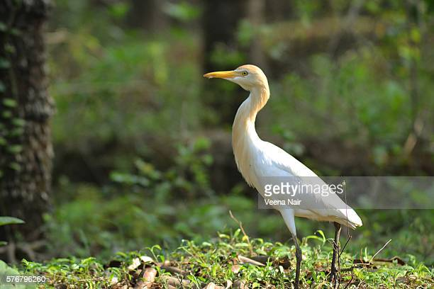 cattle egret-bubulcus ibis-kerala-wildlife - freshwater bird stock photos and pictures