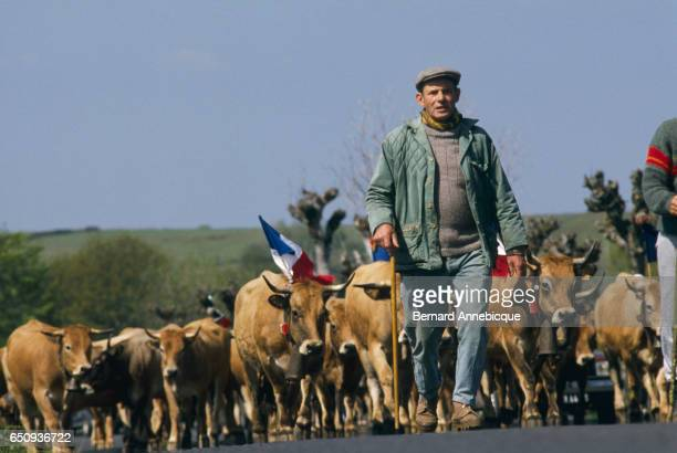A cattle farmer during transhumance the movement of livestock with the changing of the seasons | Location Aubrac France