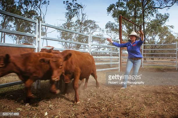 Cattle farming, Queensland Australia