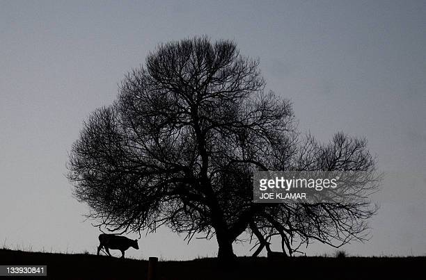 A cattle feeds at hilly pastures on November 6 2011 at hilly pastures near Slovakia's town of Liptovsky Mikulas in the late afternoon light Unusually...