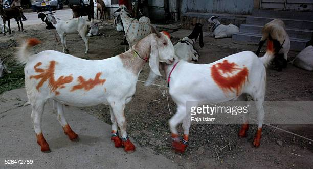 cattle for slaughter - eid mubarak photos et images de collection