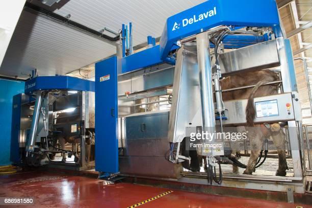 Cattle getting milked by DeLavel robotic milking machine Scotland