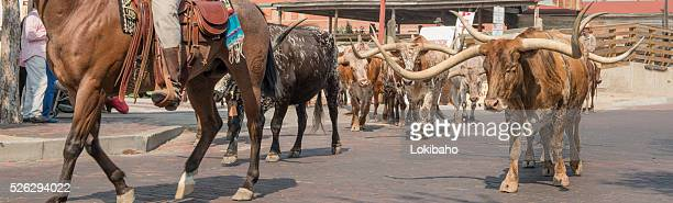 Cattle going down street of Forth Worth Stockyards