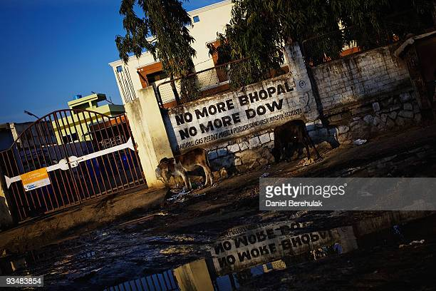 Cattle graze along the perimeter wall at the site of the Union Carbide factory on November 28 2009 in Bhopal India Twentyfive years after an...
