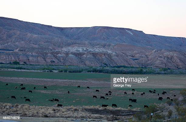 Cattle graze along the Virgin River on thousands of acres of Bureau of Land Management land that has been temporarily closed to roundup illegal...