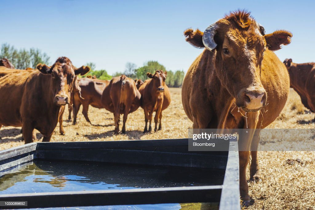 Cattle graze and drink in a field on the Ehlerskroon farm, outside Delmas in the Mpumalanga province, South Africa on Thursday, Sept. 13, 2018. A legal battle may be looming over plans by South Africas ruling party to change the constitution to make it easier to expropriate land without paying for it, with widely divergent views over the process that needs to be followed. Photographer: Waldo Swiegers/Bloomberg via Getty Images