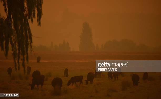 TOPSHOT Cattle graze as the sky turns orange from bushfires in Towamba 20km from Eden in southern New South Wales on January 10 2020 The fires have...