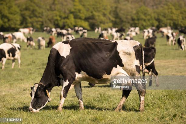 Cattle graze in a field at Plurenden Manor Farm dairy farm in Ashford, U.K., on Sunday, April 26, 2020. While shoppers are clearing out milk cases at...