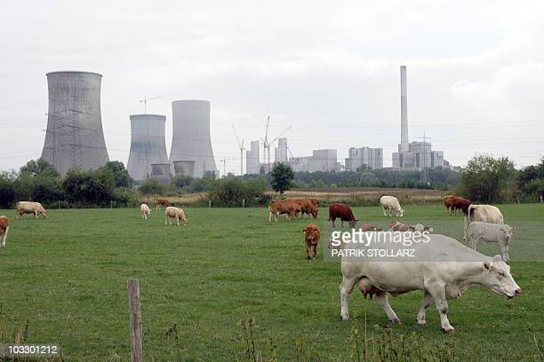 Cattle graze in front of the former nuclear power plant Hamm Uentrop on August 9 2010 in Hamm near the western German city of Dortmund The former...