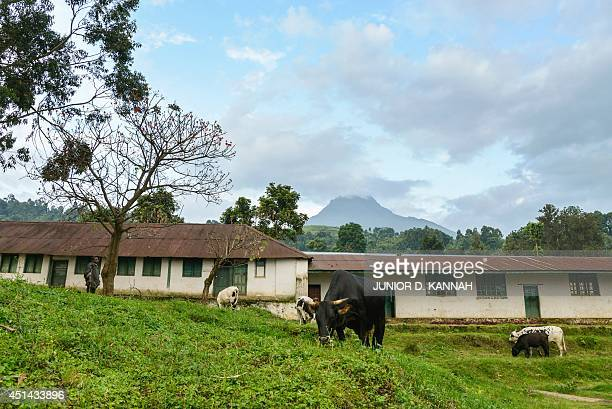 Cattle graze in the Virunga National Park on June 17 2014 in Rugari some 50 kms north of Goma Work on the hydroelectric project began in December a...