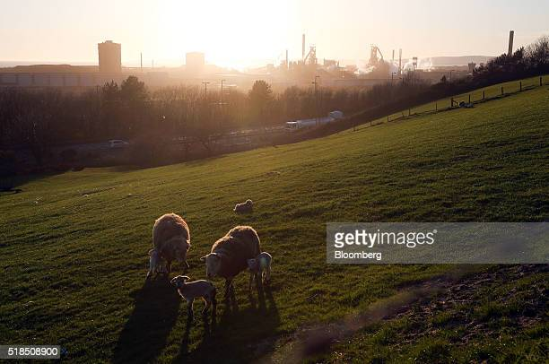 Cattle graze on a hillside close to the steel works operated by Tata Steel Ltd. In Port Talbot, U.K. On Thursday, March 31, 2016. Tata Steel, part of...