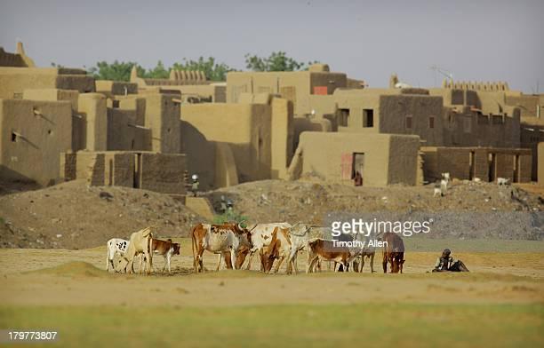 Cattle graze on outskirts of Djenne, Mali