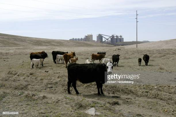 Cattle graze on reclaimed prairie what was earlier mined for coal at the Buckskin Coal Mine May 5 2004 in Gillette Wyoming Wyoming has strict laws...