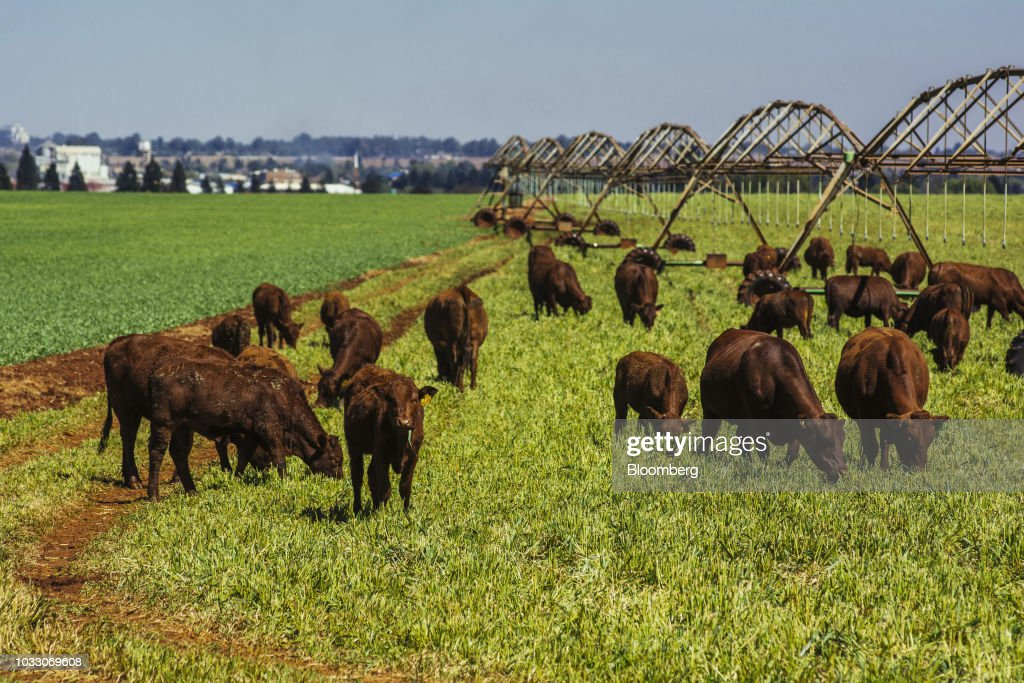 Cattle graze on the Ehlerskroon farm, outside Delmas in the Mpumalanga province, South Africa on Thursday, Sept. 13, 2018. A legal battle may be looming over plans by South Africas ruling party to change the constitution to make it easier to expropriate land without paying for it, with widely divergent views over the process that needs to be followed. Photographer: Waldo Swiegers/Bloomberg via Getty Images