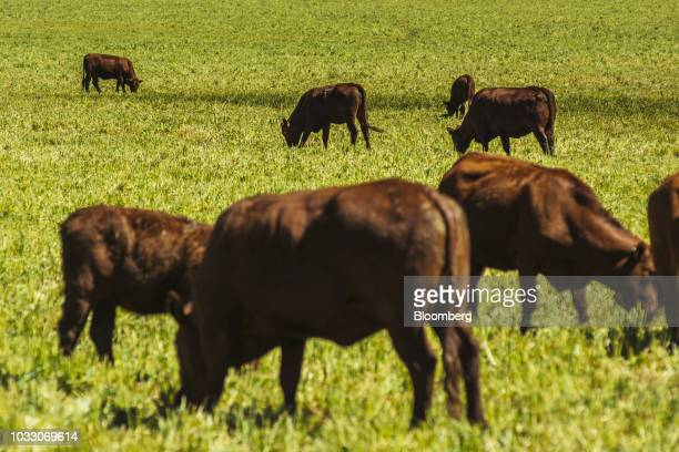Cattle graze on the Ehlerskroon farm outside Delmas in the Mpumalanga province South Africa on Thursday Sept 13 2018 A legal battle may be looming...