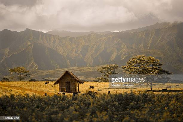 cattle grazing around small hut with mount waialeale in background. - merten snijders stock pictures, royalty-free photos & images