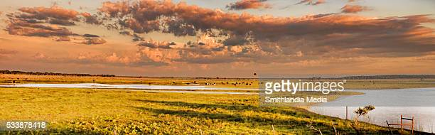 cattle grazing at sunset on the st. john's river - titusville florida stock pictures, royalty-free photos & images