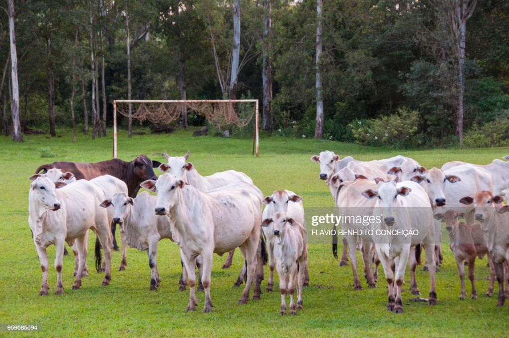cattle grazing cows in the middle of farm soccer field in the region of Londrina : Stock-Foto