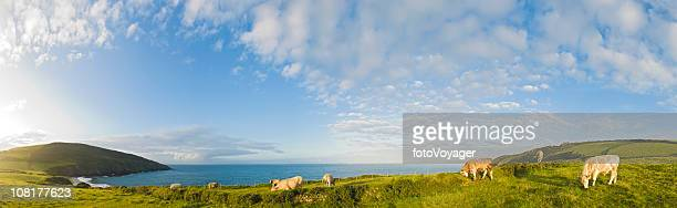 Cattle Grazing in Pasture Above Ocean Cliffs