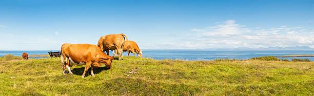 Cattle grazing in picturesque meadow beside blue ocean