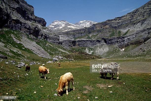 Cattle grazing in the Circo de Soaso, Ordesa Valley, Ordesa y Monte Perdido National Park , Aragon, Spain.