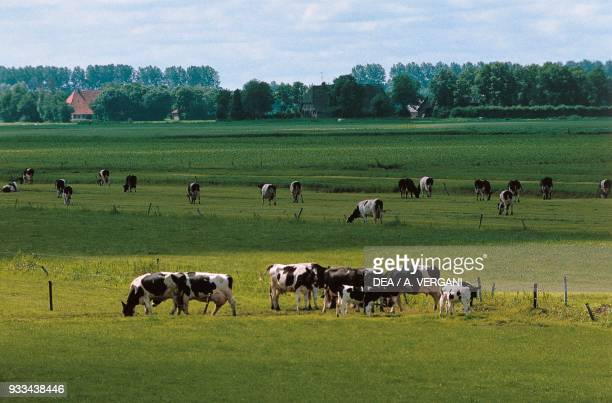 Cattle grazing in the country of Giethoorn Overijssel Netherlands