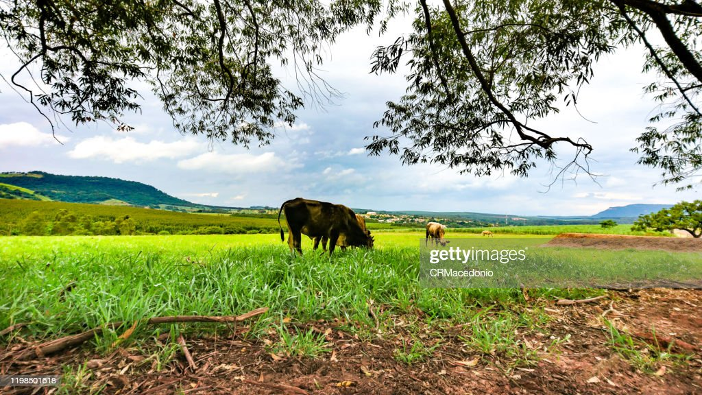 Cattle grazing in the green pastures of bucolic rural landscape. : Stock Photo