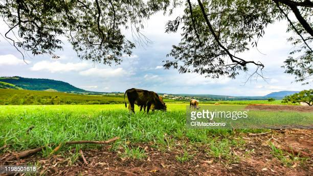 cattle grazing in the green pastures of bucolic rural landscape. - crmacedonio stock pictures, royalty-free photos & images