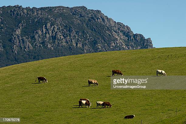 Cattle grazing Mount Roland in background near Sheffield Tasmania TAS Australia